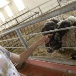 Bárány simogató farmlátogatás és történelmi kalandpark állatos programokkal a Garabonciás Farmon