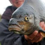 Bojlis horgászat 2020. Nemzetközi Balatoni Bojlis Horgászverseny