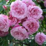 Budatétényi Rózsakert