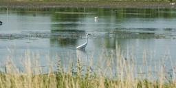 Madárles a Fertő-Hanság Nemzeti Parkban. Reggeli madármegfigyelés Fertő-Kelet szikes tavainál