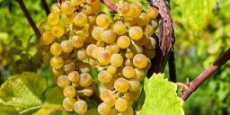 Bor- és Csemegeszőlő Fesztivál Vonyarcvashegy 2021