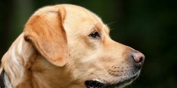 Magyar Labrador Retriever Egyesület Budapest