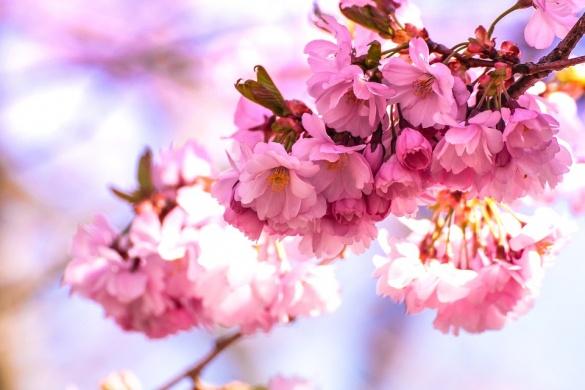 Sakura Ünnep Budapest. Virágzó japán cseresznyefák az ELTE Füvészkertben