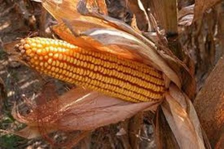 Nemzetközi Kukorica Nap 2021 Csabacsűd